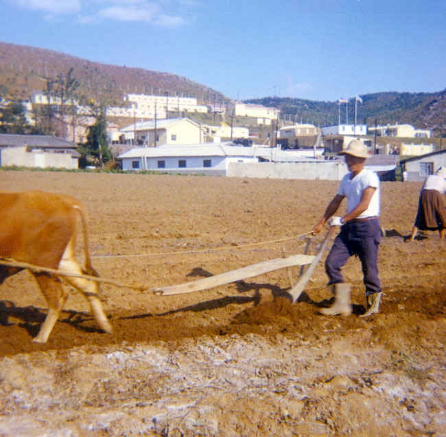 Korea 1973-1974 Local farmer plowing with an oxen outside of B Battery army compound.