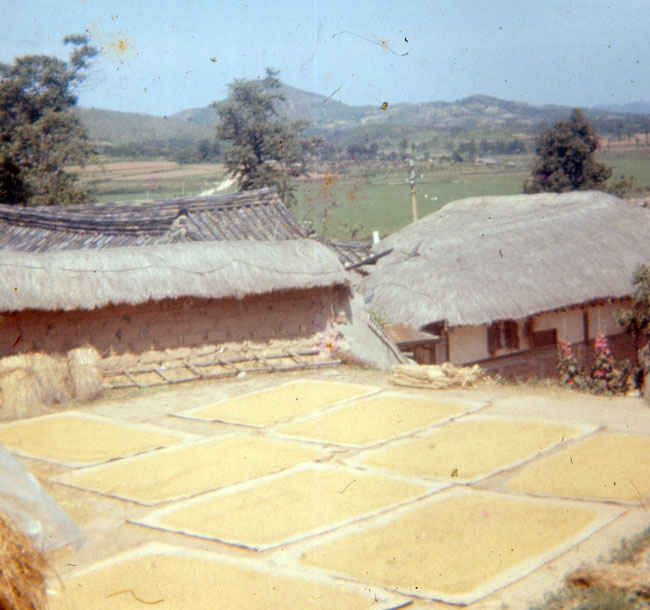Korea 1973-1974. Rice crop drying on burlap rugs near the B Battery Compound